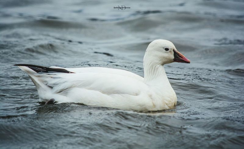 Ross' Goose. Bird Animals In The Wild Nature Animal Wildlife Animal Themes Water Outdoors Water Bird Beauty In Nature Day Nature Nature_perfection Nature Collection Eye4photography  Nature Photography Kentucky  Nature_ Collection  Ponds Lake EyeEm Best Shots Nature_collection Birds Birds Of EyeEm  Birds_collection Birds🐦⛅