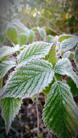 Nature Winter Leaf Tree Green Color Close-up Growth Beauty In Nature Plant Cold Temperature Environment Snow Outdoors No People Day Branch Freshness