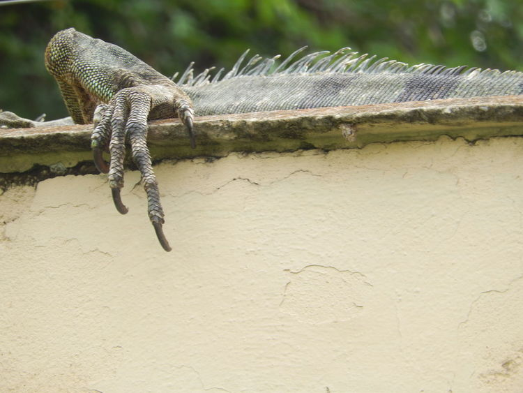 Amazon River Amazonas Iguana Lizard Lizard Watching Lizards Reptile Amazing Amazon Amazon Rainforest Animal Themes Animal Wildlife Animals In The Wild Claw Claws Close-up Day Iguana Island Iguana Photo Iguanas Nature Outdoors Reptile Scary Staring