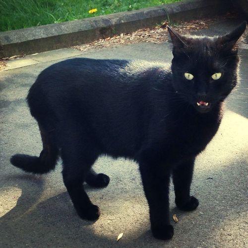 Black Cat JAGUAR Devil Cat