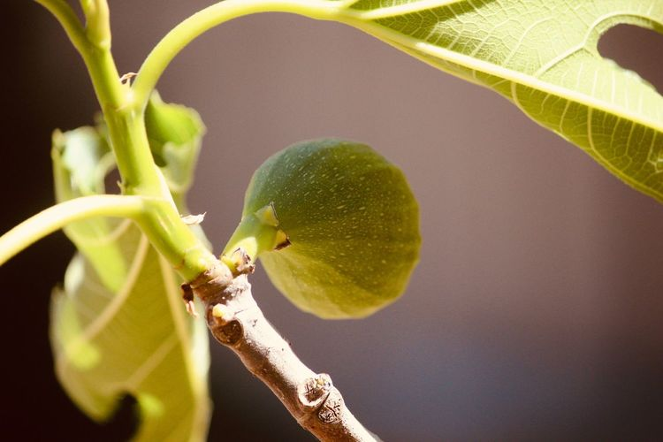 Close-up of fig growing on tree