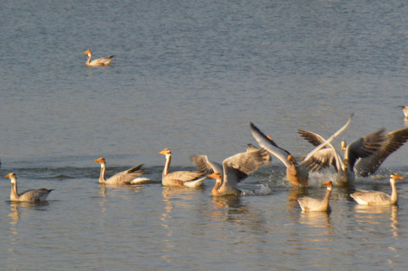 Bar Headed Geese Animal Themes Avian Bar Headed Geese Beauty In Nature Bird Day Geese Geese Gathering Geese Photography Geesepond Goose Lake Lakes  Medium Group Of Animals Nature No People Outdoors Rippled Tranquility Water Water Bird Waterfront Wildlife