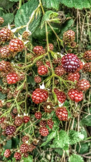Almost Ready Blackberrys Red Fruits HDR Collection