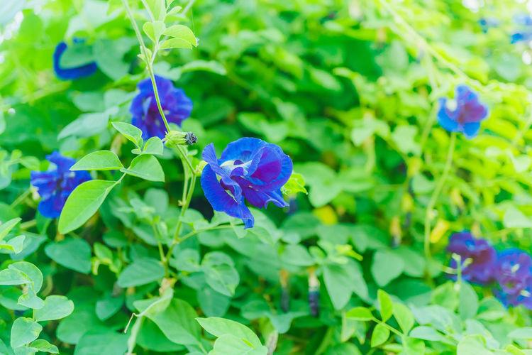 Blue pea