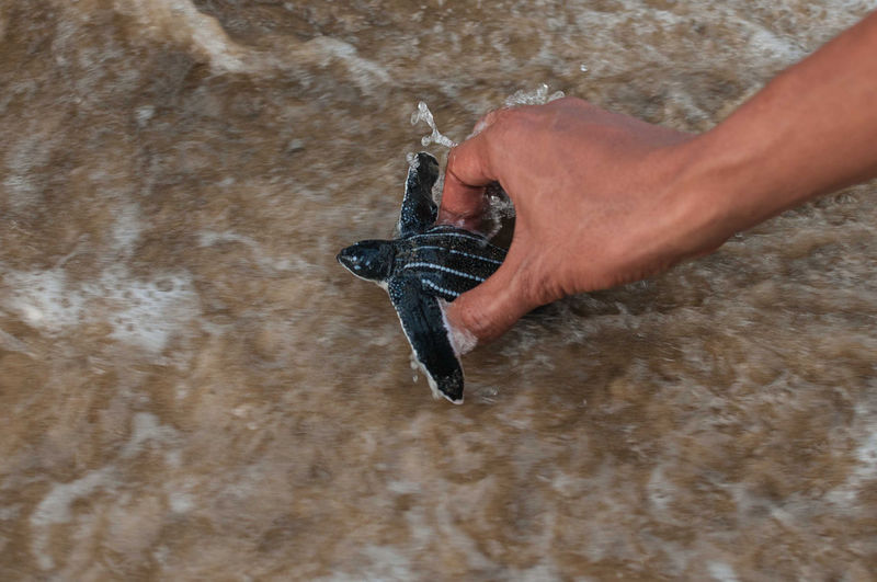 Cropped image of hand releasing leatherback turtle in sea