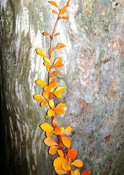 Orange branch