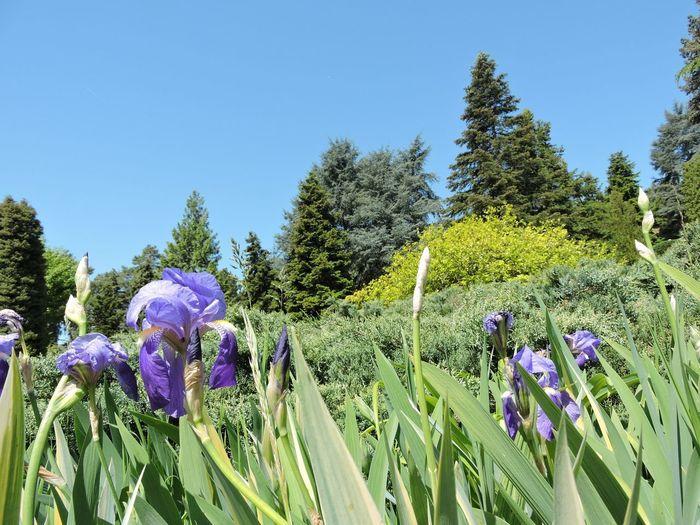 Purple flowering plants and trees on field against sky
