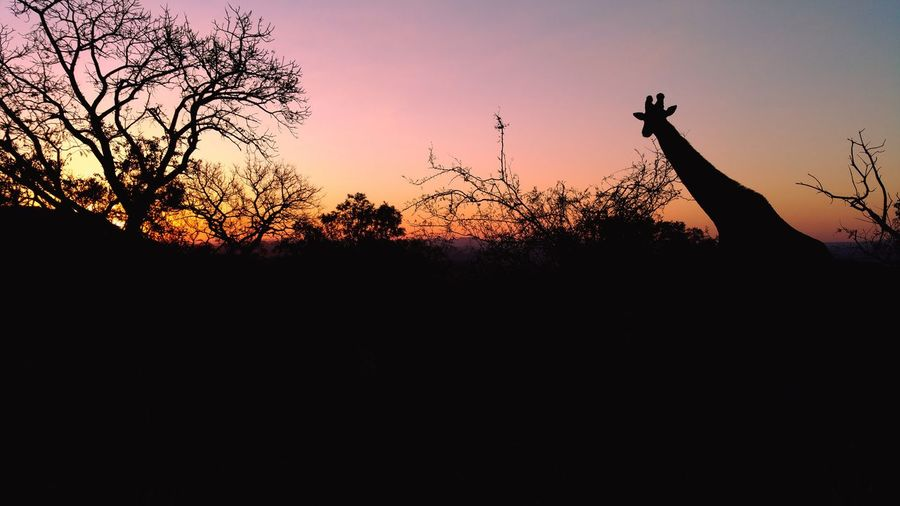 Sunset giraffe taken on a game drive at Bongani Mountain Lodge First Eyeem Photo Girrafe  Sunset Africa Safari