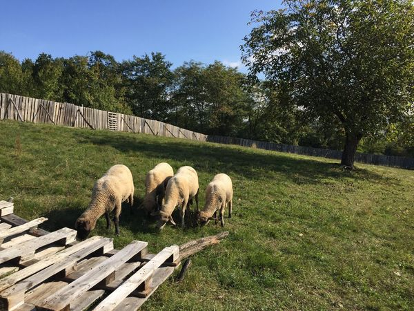 Sheep, small holding Krupina Slovakia Nature Slovakia Sheep Animal Themes Domestic Animals Livestock Clear Sky Outdoors Farm Europe Traveling Travel