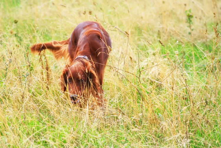 Freya Freya Dog Portrait Irish Setter Red Setter Dogs Walking Grass Southsea Hampshire  England Pets Dog Grass
