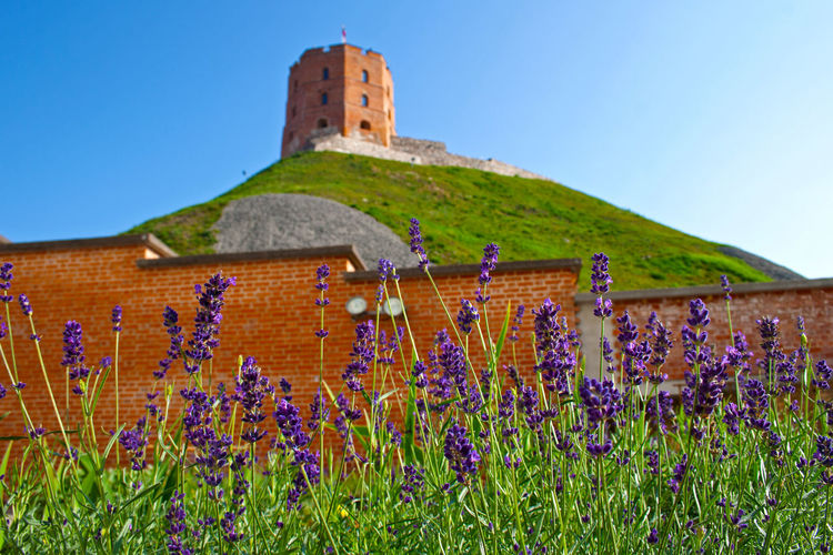 Gediminas' Tower or Castle, the remaining part of the Upper Castle in Vilnius, Lithuania with lithuanian flag waving on a green hill and blue sky photographed from a garden with lavender Baltic Gediminas Gediminas Castle Gediminas Tower Green Hill Holiday Lithuania View Vilnius Vilnius Old Town Architecture Building Building Exterior Built Structure Europe Flowers Fort Garden Hill History Levander Lithuanian Red Wall Tower Travel Destinations