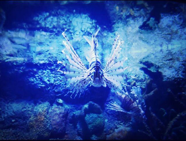 澎湖水族館……獅子魚
