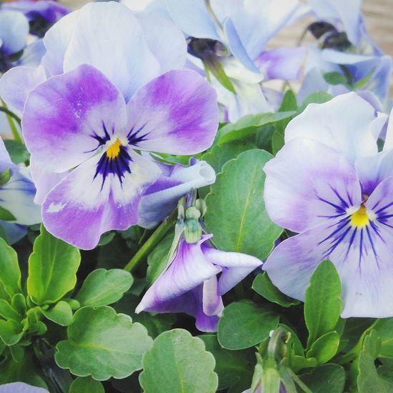 Violets Beautiful Nature Spring Mygarden Blueviolets Beautifulworld Violets