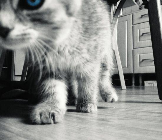 Cat♡ Cat Chats Cute Baby Cat Blue Eyes Walking Kiss Fur ♥
