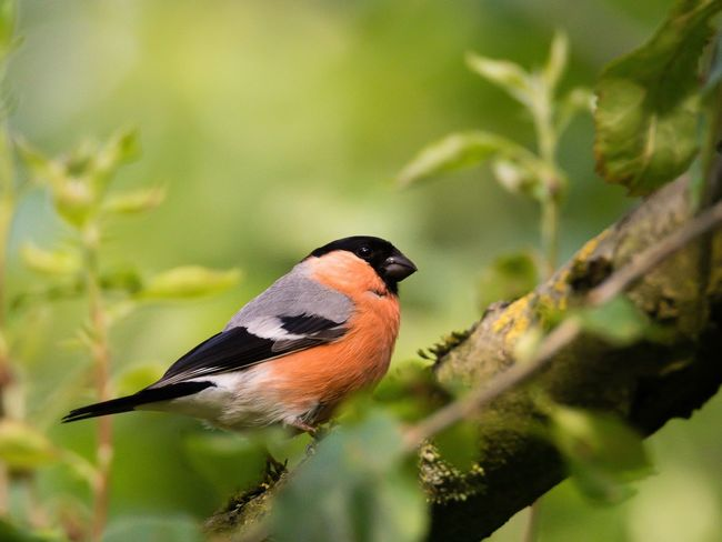 Bullfinch Gimpel Dompfaff One Animal Nature Wildlife Beauty In Nature Animals In The Wild Bird Photography Bird Garden Garden Photography Wildlife & Nature Germany Flensburg