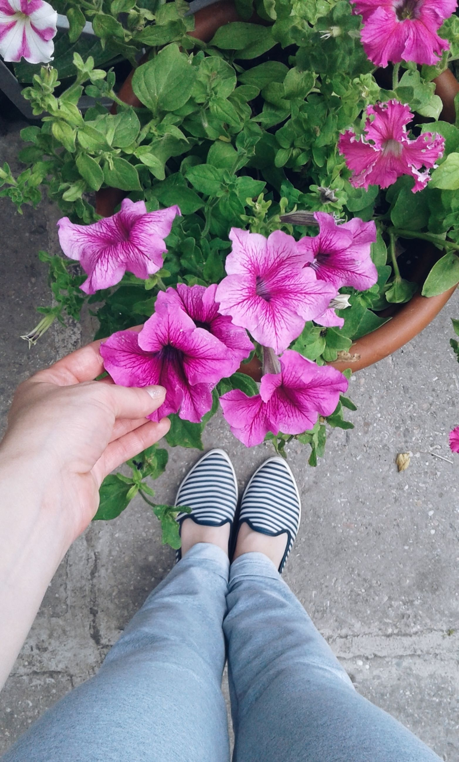 flower, flowering plant, plant, pink color, beauty in nature, freshness, real people, personal perspective, one person, fragility, vulnerability, human body part, nature, flower head, low section, petal, body part, inflorescence, lifestyles, outdoors, hand, purple, human limb