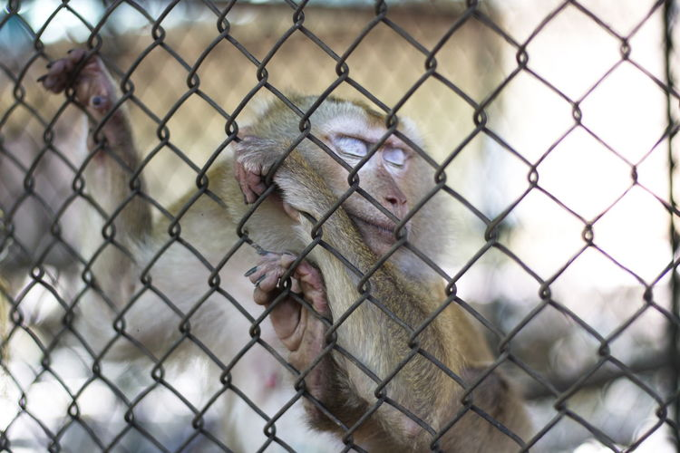 Monkey in the cage Animal Animal Head  Animal Mouth Animal Themes Animal Wildlife Animals In Captivity Animals In The Wild Barrier Boundary Chainlink Fence Close-up Crisscross Day Fence Focus On Foreground Mammal Metal Monkey Mouth Open No People One Animal Outdoors Primate Vertebrate Zoo
