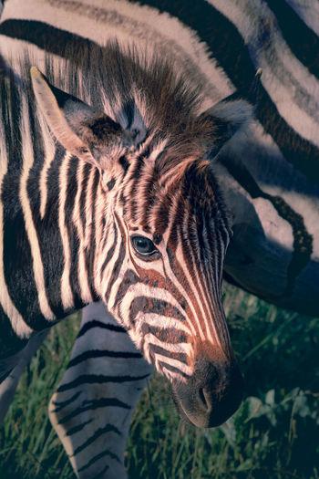 Close-up of zebra foal