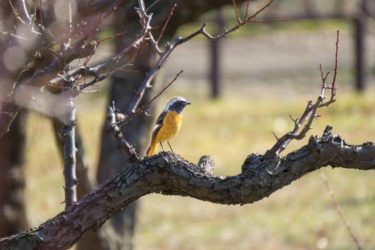 ジョウビタキ OSAKA Japan Bird Perching Tree Branch Hornbill Living Organism Wildlife Reserve Animal Themes Plant