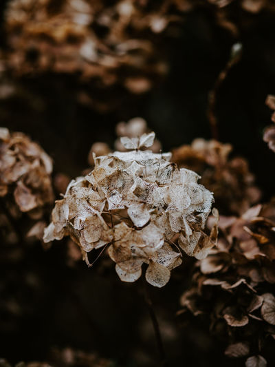 Macro photo of decaying hydrangea Leaf Plant Part Close-up Dry Land Plant Growth Field Focus On Foreground No People Vulnerability  Fragility Nature Day Beauty In Nature Selective Focus Mushroom Fungus Freshness Outdoors Wilted Plant Leaves Dried Decay