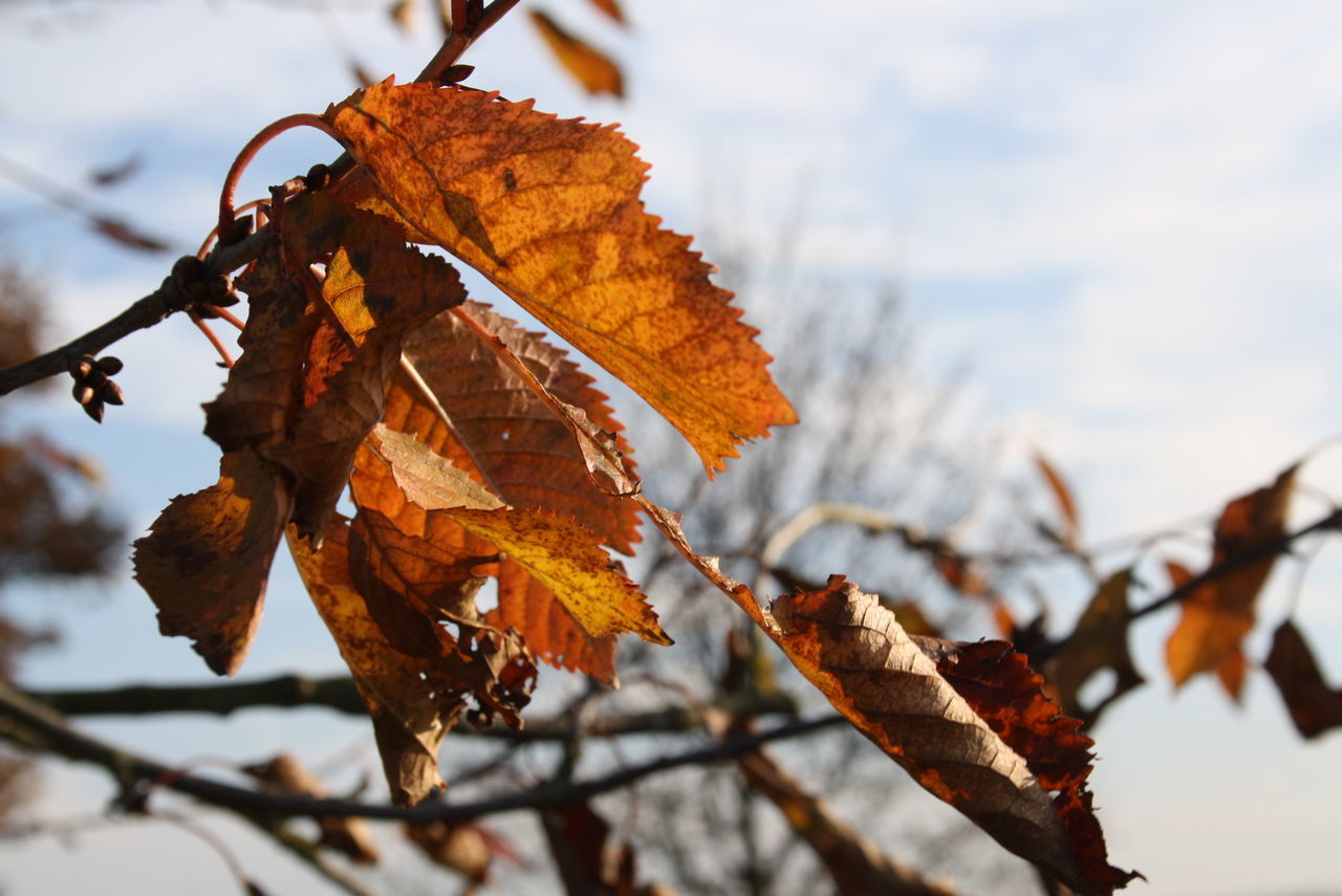 leaf, autumn, change, nature, focus on foreground, dry, day, outdoors, close-up, no people, beauty in nature, branch, winter, dried plant, sky
