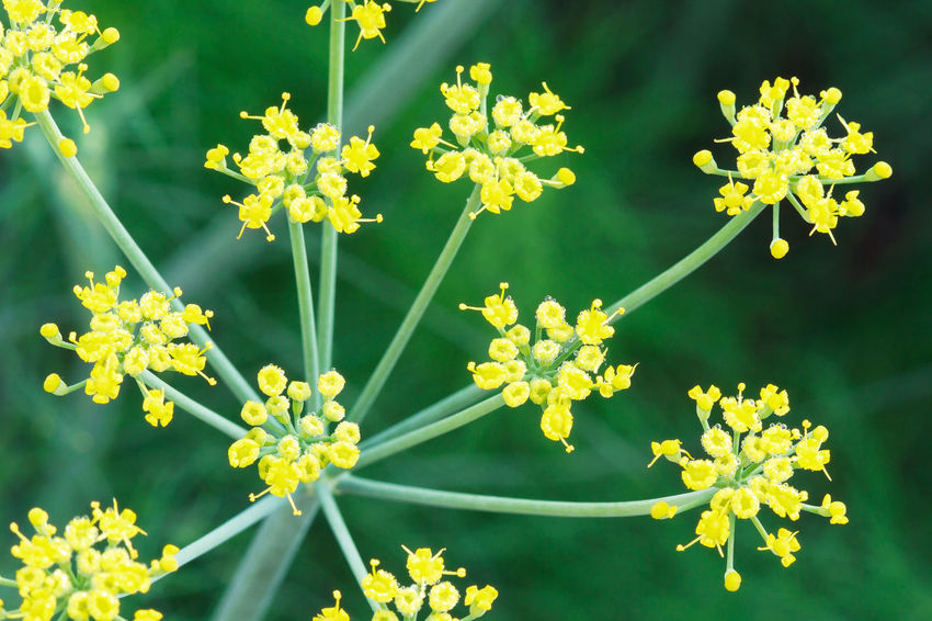 Close up of fresh yellow dill flower on green background Dill Flowers Sunlight Beauty In Nature Blossoming  Close-up Day Eatable Flower Flower Head Focus On Foreground Fragility Freshness Garden Green Color High Angle View Nature No People Outdoors Petal Plant Vegetable Yellow