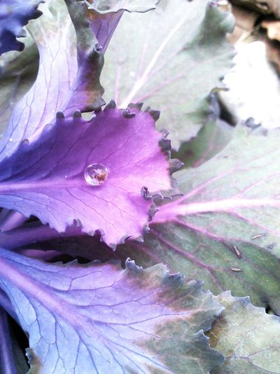 Cabbage with drop. Purple simplicity.