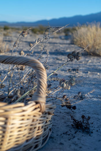Basket with desert wildflowers, dried plants outdoors in mojave desert landscape