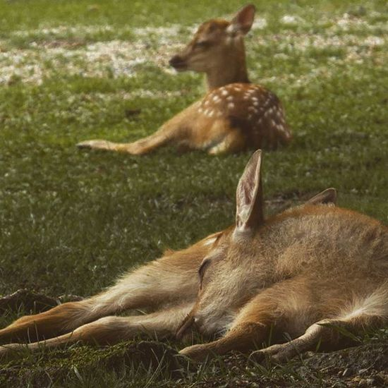 Young deers peacefully sleeping ijn Nara, Japan. Nara Japan Deer Deers Narapark Japanese  奈良市 奈良