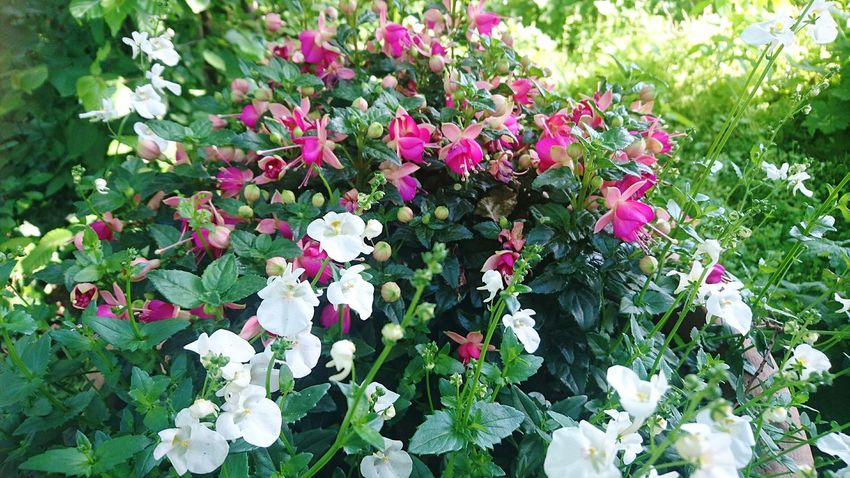 Flower Growth Nature Plant Beauty In Nature Outdoors Green Color Day No People Purple Pink Color Fragility Leaf Springtime Summer Freshness Blooming Flower Head Petunia Close-up
