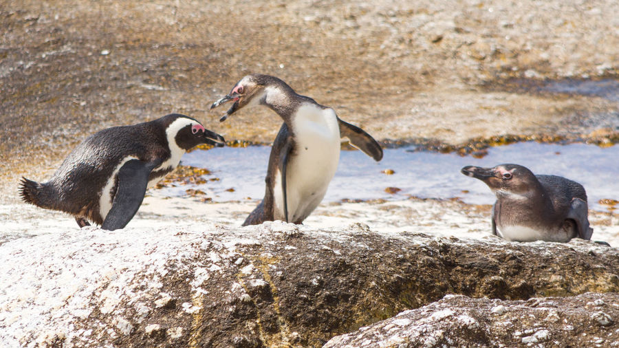 Close-up of three african penguins next to water