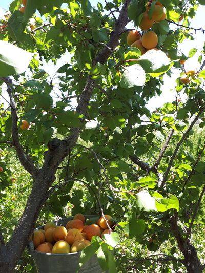 Tree Branch Fruit Citrus Fruit Healthy Lifestyle Orange Tree Sky Food And Drink