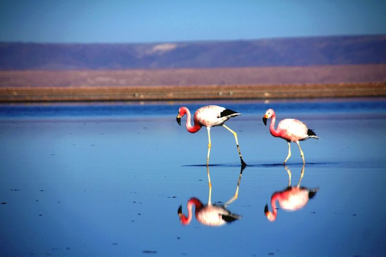 Canon Digital Chile Flamingos In Water Flamingos Water Bird Animal Themes Animal Vertebrate Reflection Flamingo Nature Pink Color Tranquility