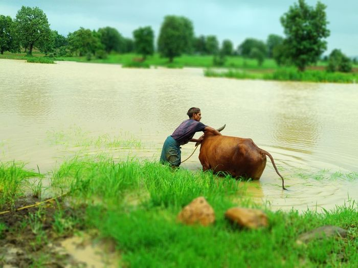 Water Working Rice Paddy Men Rural Scene Farmer Togetherness Occupation Lake Agriculture Domestic Cattle Working Animal