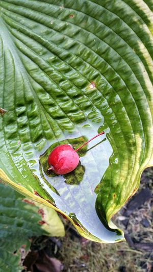 Wild Cherry Leaf Water In Leaf Raining Nature Beauty In Nature Green Red Fragile Full Outdoors Vibrant Texture Fragility Plant Close-up No People Growth Pattern One With Nature Natural Art  Fallen Colorful One Single Leaf