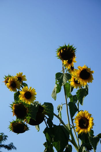 Dried sunflowers in summer heat after weeks of no rain-Global Warming Drought Global Warming Hot Beauty In Nature Blue Clear Sky Close-up Dry Flower Flower Head Flowering Plant Fragility Freshness Growth Heat - Temperature Inflorescence Low Angle View Nature No People Outdoors Petal Plant Pollen Sepal Sky Springtime Sun Sunflower Vulnerability  Yellow