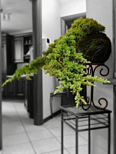 Juniperus procumbens Kokedama 🌲🌲🌲