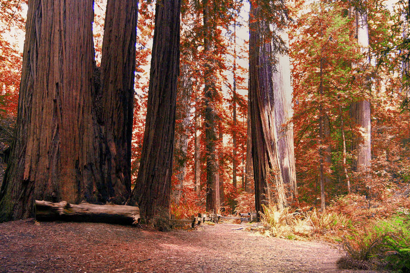 Giant sequia trees near Redwood City, San Francisco, California -USA Autumn Leaves Have Fallen, Winter Is Approaching... Giant Sequoia Autumn Beauty In Nature California Redwoods Day Forest Leaf Nature No People Outdoors Red Tranquility Tree Tree Trunk WoodLand Perspectives On Nature