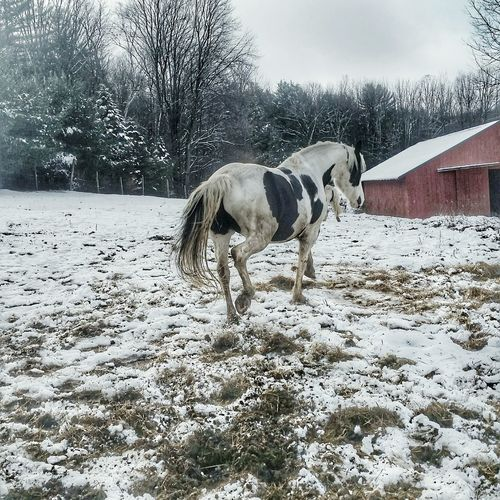 Animal Themes Animal Domestic Animals No People Mammal Nature Outdoors Livestock Day Tree Sky Snow Cold Temperature Horses Are My Life Black & White Winter 3XSPhotographyUnity Beauty In Nature Winter Day 3XSPUnity Equestrian Red Backgrounds Pet Portraits