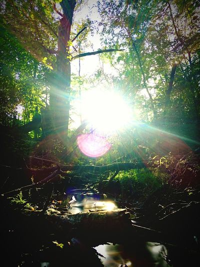 Lens Flare Sunbeam Sunlight Tree Sun Nature Forest Tranquility Bright Beauty In Nature Growth Day Tranquil Scene Outdoors No People Low Angle View Branch Brightly Lit Scenics Tree Trunk Discoverwisconsin Wisconsin Life Wisconsin Summer Wisconsin River WisconsinSunset