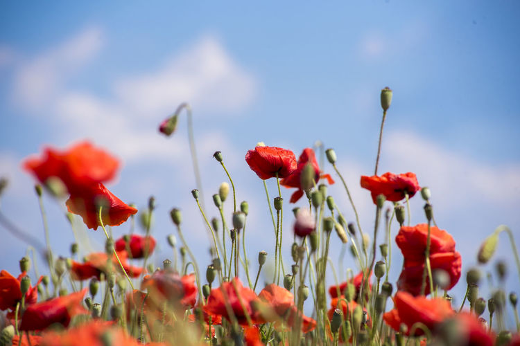Field Flower Flower Head Flowers Growth Meadow Poppies  Poppy Poppy Field Poppy Fields Poppy Flowers Red Sunny