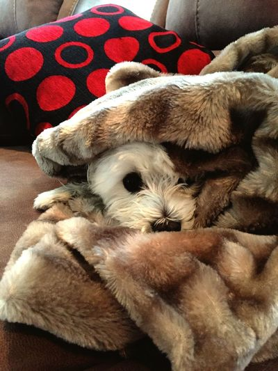 Maltese Terrier Cold Day Blanket Fort Blanket Faux Fur After Bath Keeping Warm Chilly Day Cozy White Dog Cute Pets Sweet Dog  Cushion Love Hearts Counch Sofa Cuddletime Wet Dog