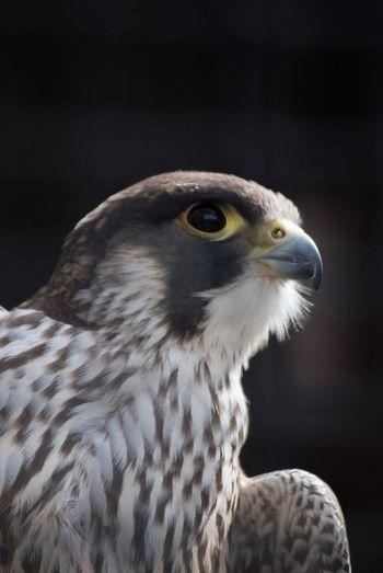 Beautiful Powerful Bird Of Prey Bird Millets Farm Oxfordshire