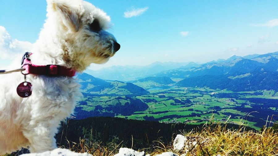 Enjoying the sun Maltese Dog Great View Looking For Inspiration Alps Austria Best View Of The World Sweetest Dog Ever Pets Dog Sky Mountain