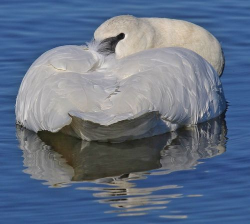 Trumpeter Swan Bird Water Reflections Waterfowl Peaceful Lake Swan Napping One Animal Reflection White Color Arkansas Swan Swan No People