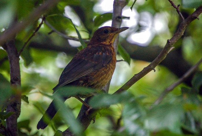 gut versteckt - hidden Beobachten Amsel Animal Themes Animals In The Wild Beauty In Nature Bird Branch Tarnung Tree Strengberg Best Shots Hofi Best Tiere Hofi
