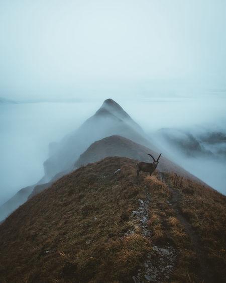 Scenic view of mountain goat on a mountain ridge