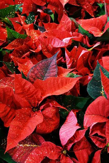 Full frame shot of raindrops on red leaves
