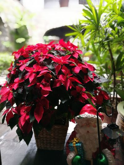 Perfect for Christmas. Poinsettia With Santa 🎅