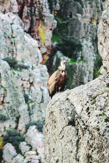 Buitre Buitre Leonado Animal Themes Animal Wildlife Bird No People Nature Mountain Animals In The Wild One Animal Plasencia Extremadura Plasencia Caceres. Monfragüe Monfragüe,Spain